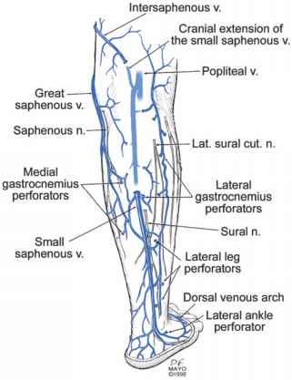 Anatomy Of The Lower Extremity Veins - Varicose Veins