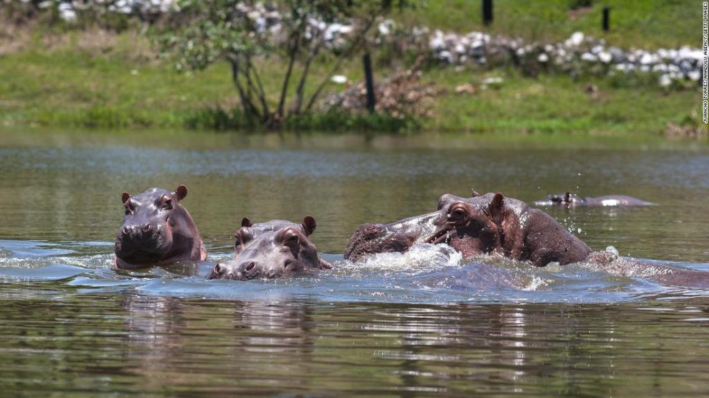 Colombia's 'cocaine hippos' must be culled, scientists say