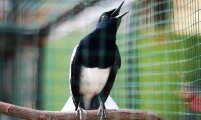 Jenis Burung kacer
