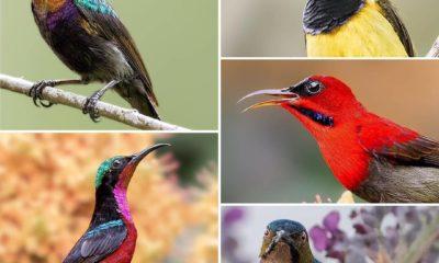 burung konin kolibri ninja