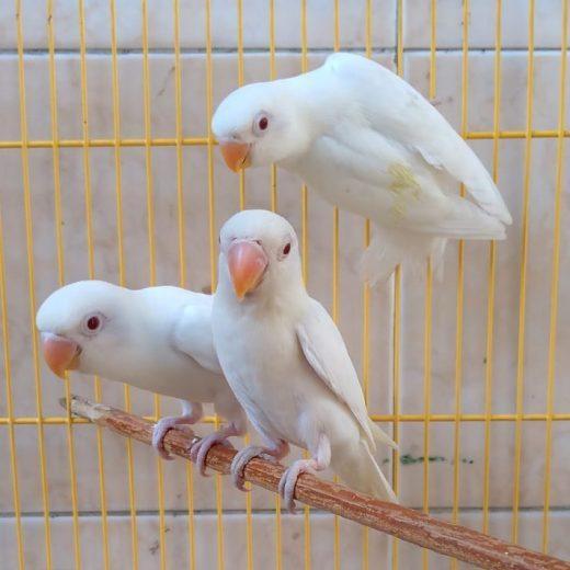 love bird albino