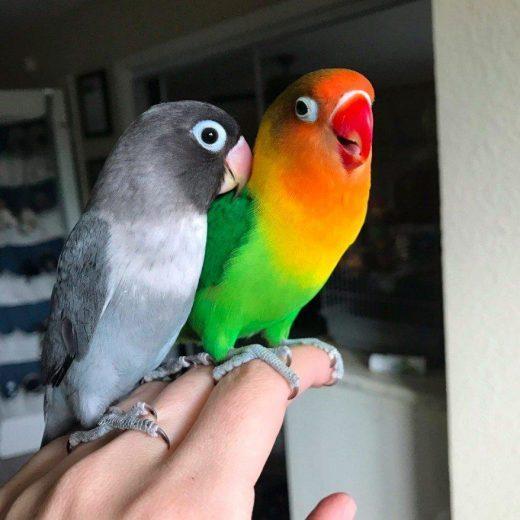 perawatan burung love bird