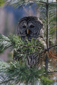 Barred Owl Photo Credit: Jan Wassink
