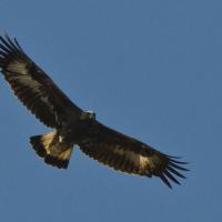 Golden Eagle Photo Credit: Jan Wassink