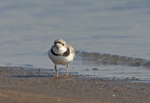 Piping Plover Photo Credit: John Carlson