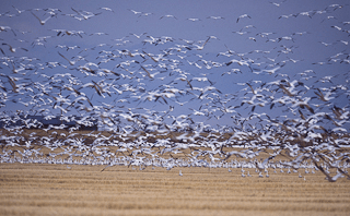 Snow Geese Photo Credit: Jan Wassink