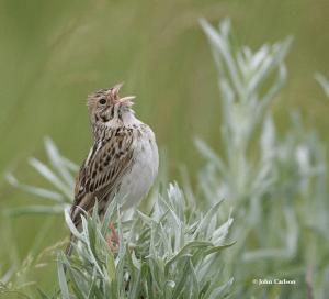 Bairds Sparrow Photo Credit: John Carlson