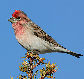 Finch Photo Credit: Jan Wassink