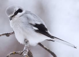 Northern Shrike  Photo Credit: Ron Lacey