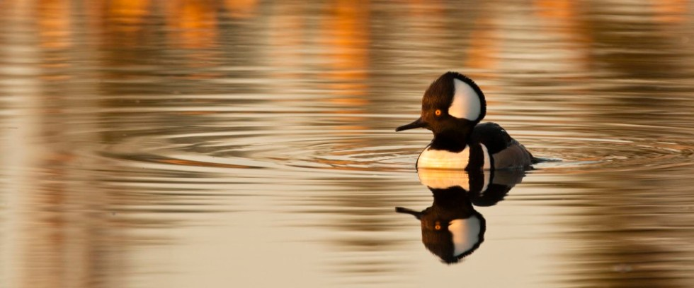 Hooded Merganser at sunset Photo Credit: Dick Walker