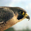 Peregrine Falcon Photo Credit: NPS