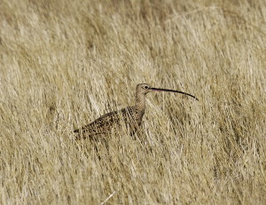 Long-billed Curlew Photo Credit: Bob Martinka