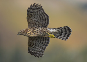 Northern Goshawk Juv. In Flight sm
