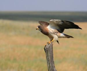 Swanson's Hawk Photo Credit: APR