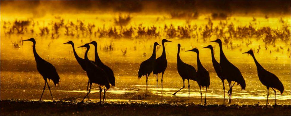 Sandhill Cranes Sunset in West Valley - Photo Credit: Dick Walker