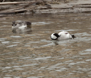 Bufflehead Pair - Photo Credit: Dick Walker