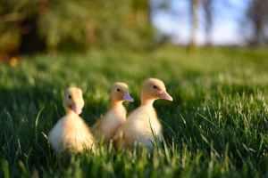 flock of yellow baby ducks in grass