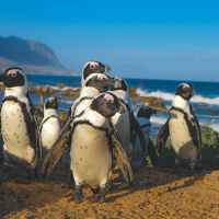 group of african penguins