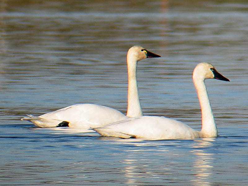 Look Up In The Skies For Trumpeter Swans