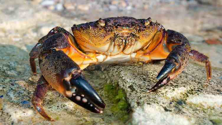 Florida's red tide blamed for lousy stone crab season
