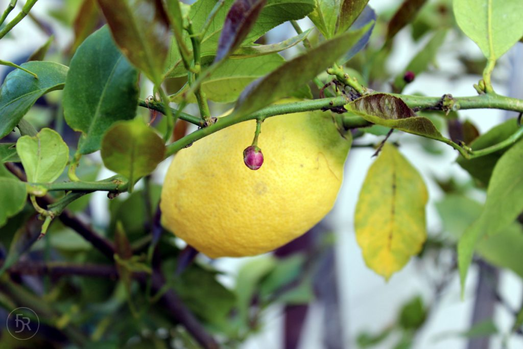 Lemon Tree in Monforte d'Alba