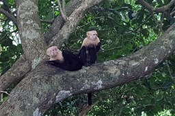 two monkeys playing in Manuel Antonio Nationalpark, Costa Rica