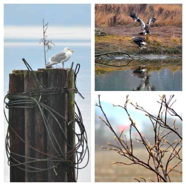 Eagles and gulls near an estuary