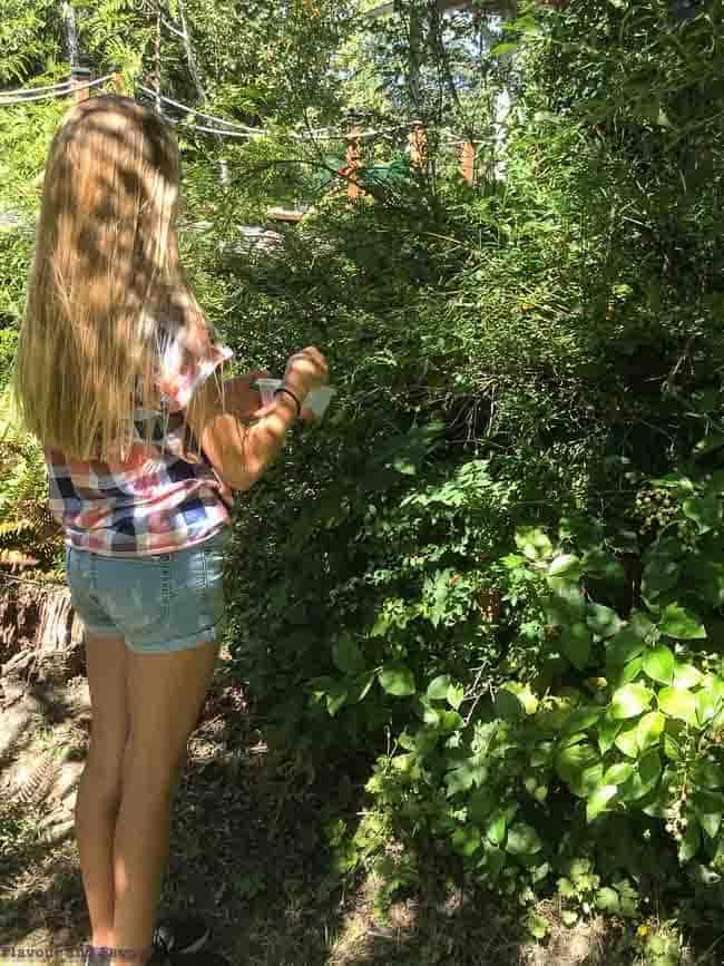 Foraging for Wild Huckleberries