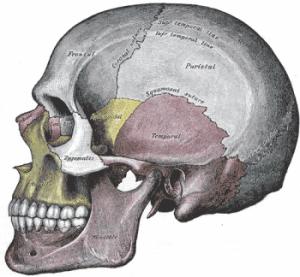 Cranium-lateral-view