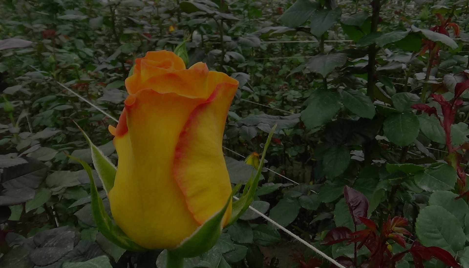 flawless-flowers-kenya-rose-farm