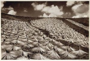 Flax drying for linen fibre