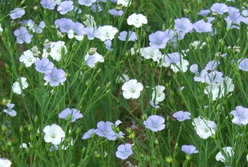 Linseed can have white flowers as well as the usual blue flax flowers
