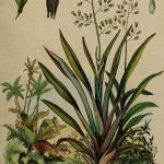 Phormium tenax New Zealand Flax