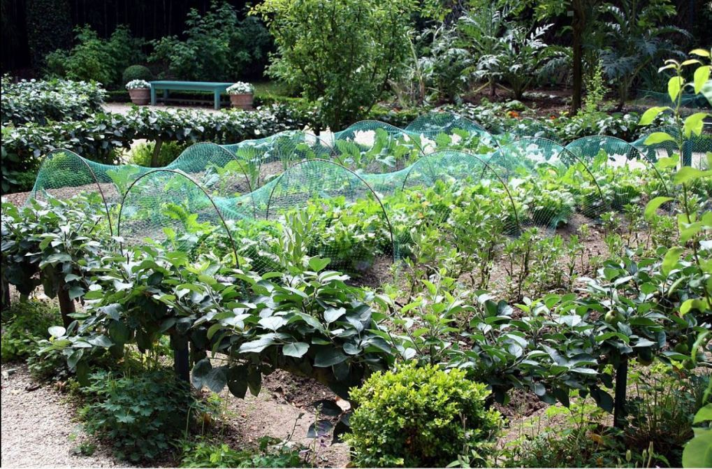 Vegetable and salad ingredients growing in allotment.