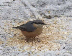 Nuthatch enjoying winter omega-3 booster with linseed flax seed oil.