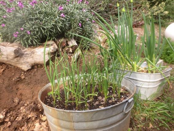 Onion garden in March