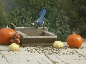 Scrub jay 'stealing' a peanut which he'll bury for later!