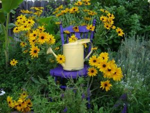 The purple chair and pale yellow watering can goes brilliantly with the Black-eyed Susans