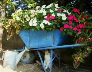 Blue wheelbarrow....see Buddy?
