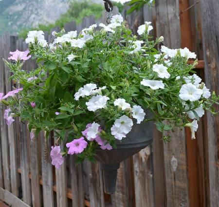 "Marie Niemann says, ""These are the Wave Petunias that come back every year from self seeding.'"