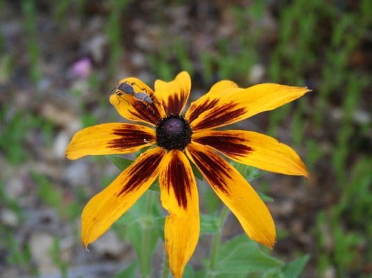 Rudbeckia or in this case Gloriosa Daisy!