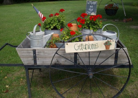 A garden wagon holds some bright geraniums, just like it says!