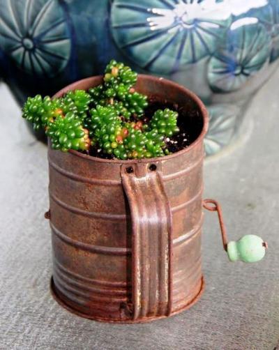 Melnee Beth Benfield's succulent, a Jelly bean sedum, 'Sedum hernandezii'