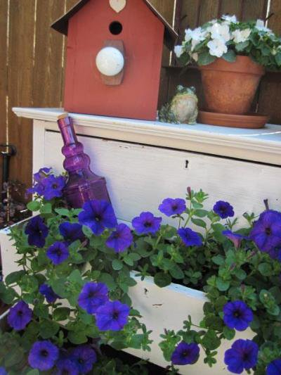After a week or two, Jeanie's petunias are nicely spilling over the sides of the drawers