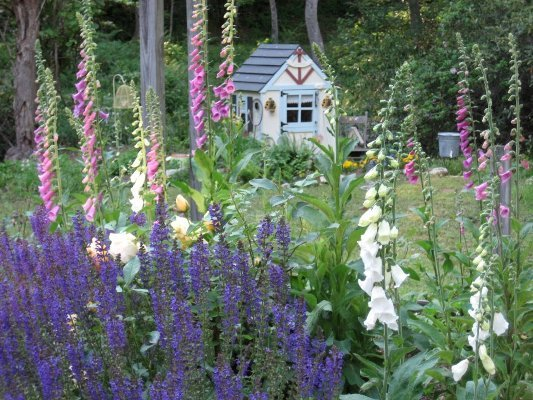 Barbara Stanley's English cottage garden with blue salvia and foxglove