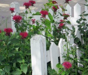 Jackie Greenfield's classic picket fence and ruby red Monarda, or Bee Balm