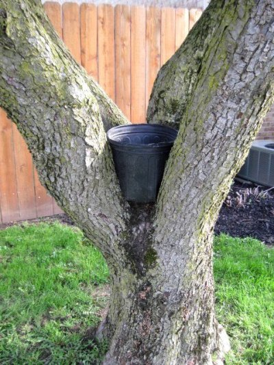 Jeanie Merritt shows how a pot can fit in the crook of the tree.