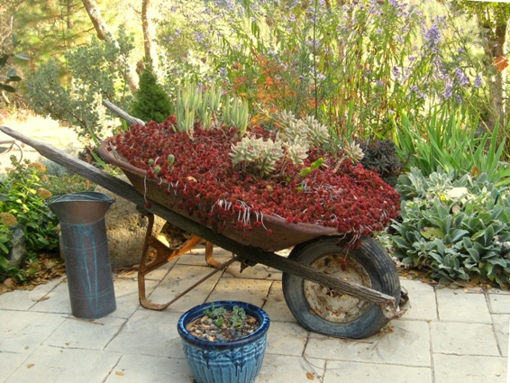 In Fall, my sedum wheelbarrow turns 'blood' red