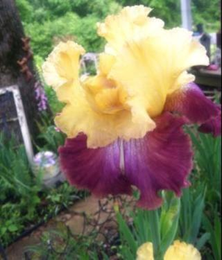 Jennifer Frazier's gorgeous two-toned iris