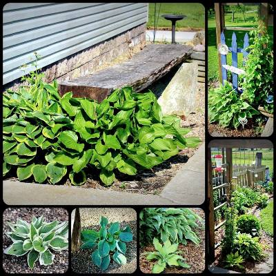 Lisa Collier's hostas